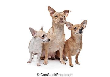 chihuahua, trois, chiens