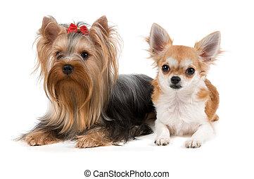 chihuahua, und, der, terrier
