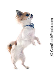 portrait of a cute purebred chihuahua standing on his hind legs