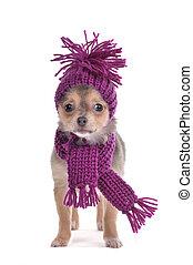 chihuahua, vestido, isolado, funnily, tempo, fundo, gelado, filhote cachorro, branca
