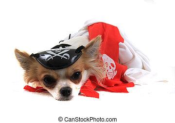 chihuahua, violka, pirate, chien