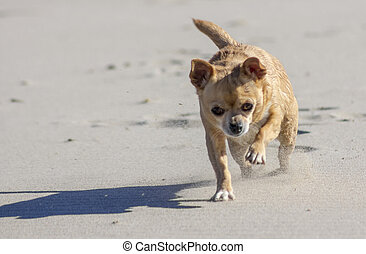 chihuahua walks through the desert in a sandstorm