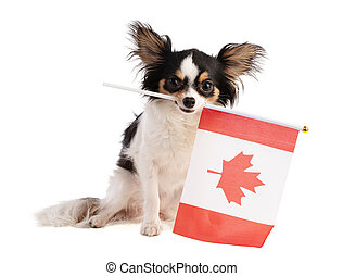 Chihuahua with a Canadian flag
