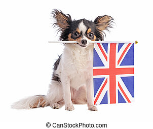 Chihuahua with a English flag