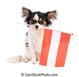 Chihuahua with a flag of Australi