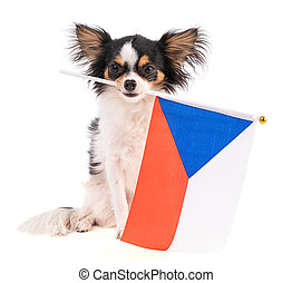 Chihuahua with a flag of Czech Republic