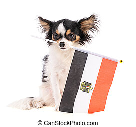 Chihuahua with a flag of Egypt