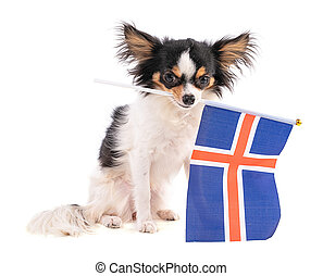 Chihuahua with a flag of Iceland