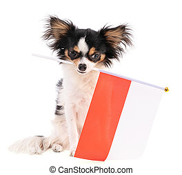 Chihuahua with a flag of Poland