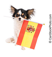 Chihuahua with a flag of Spain