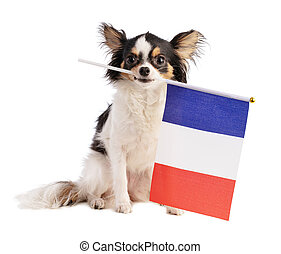 Chihuahua with a French flag