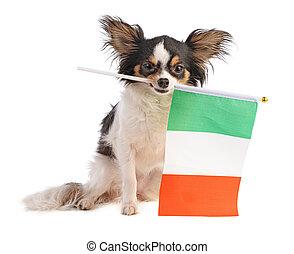 Chihuahua with a Italian flag