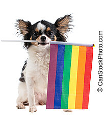 Chihuahua with a LGBT rainbow flag