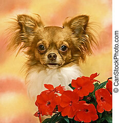 chihuahua with a red flowers