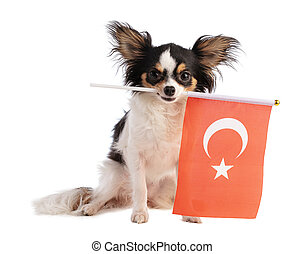 Chihuahua with a Turkey flag