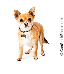 Chihuahua with blank dog tag - Chihuahua dog standing and...