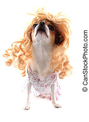 chihuahua with blonde wig (hair) isolated on the white...