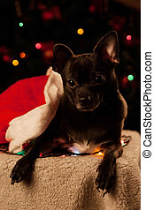 Chihuahua with Christmas garland