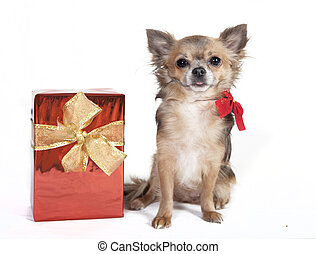 chihuahua with christmas gift