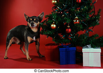 Chihuahua with Christmas tree