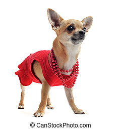 chihuahua with clothes
