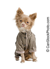 Chihuahua with coat