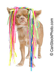 Chihuahua with eccentric hair style