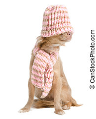 Chihuahua with hat and scarf