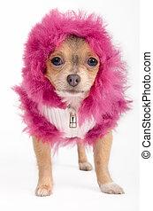 Chihuahua with hood