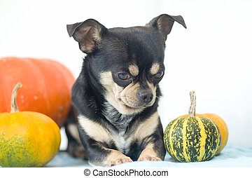 Chihuahua with pumpkins