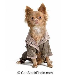 Chihuahua with raincoat