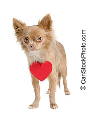 Chihuahua with red heart necklace