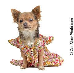 Chihuahua with rural stuye dress