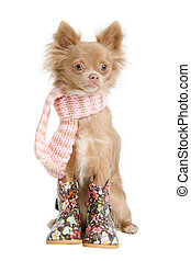 Chihuahua with scarf