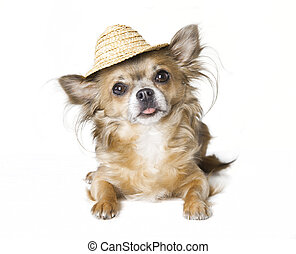 chihuahua with sunhat