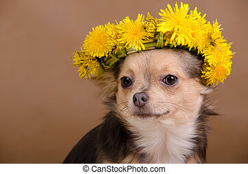 Chihuahua with wreath of dandelions