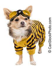 chihuahua, yellow-black, kostuum