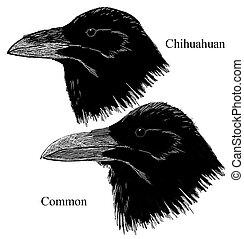 chihuahuan, corbeaux, commun