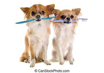 chihuahuas, brosse dents