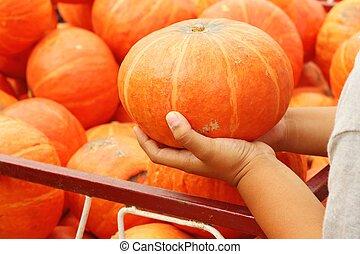 Child are holding fresh pumpkin in the garden