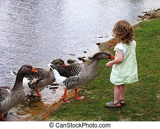 Child feeding geese
