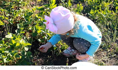 Child girl collects strawberries from a bush in the garden. Harvest of berries