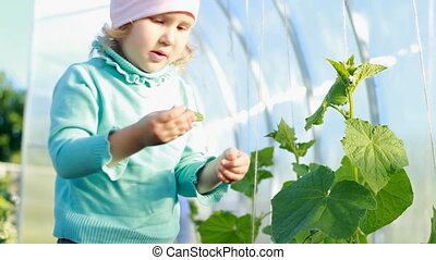 Child girl show a cucumber in a greenhouse. The first crop...