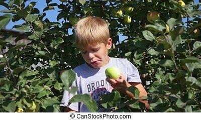 child near Apple tree eating a Apple