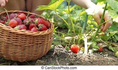 Child picking fresh strawberry