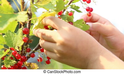 Child picking red currant from the bush