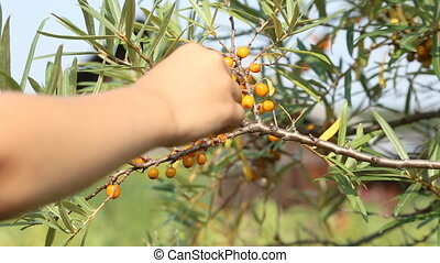 Child picking sea-buckthorn from the bush