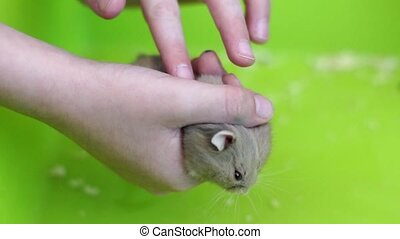 Child play with hamster