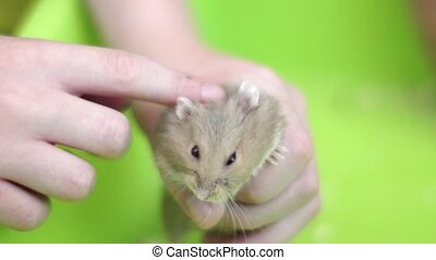 Child play with hamster - Child holding a hamster and...