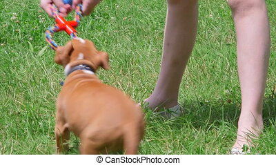 Child playing with american staffordshire terrier puppy dog on grass